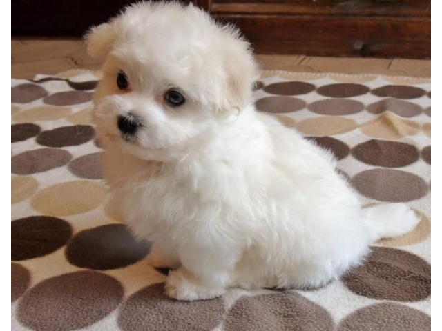 Tiny Teacup Maltese Puppies For Adoption Animals
