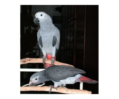 African Grey Male And Female