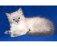 Awesome Ragdoll kittens ready Now