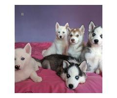 Stunning Litter Of Huskies