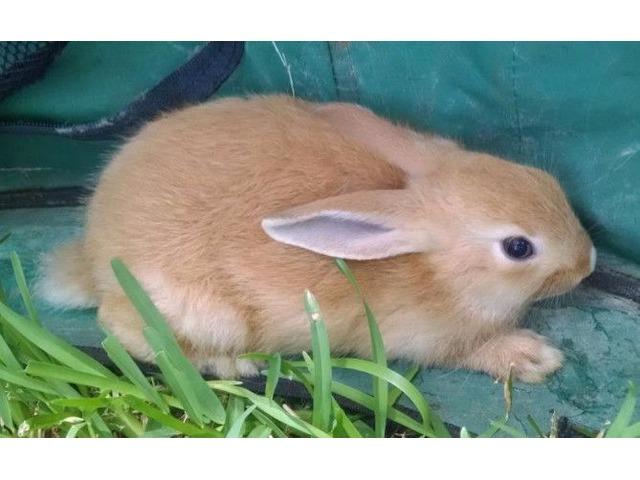 Bunnys for sale   free-classifieds-usa.com