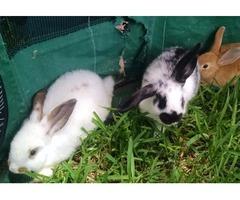 Bunnys for sale | free-classifieds-usa.com