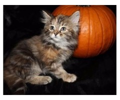 CFA Maine Coon kittens