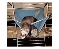 I have two ferrets for sale