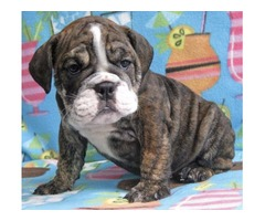 Pure Bred Male English Bulldog Puppy for sale