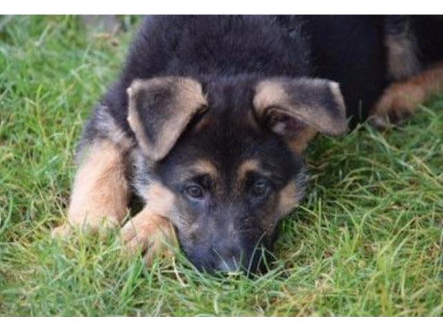German Shepherd Puppies Animals Canton Massachusetts