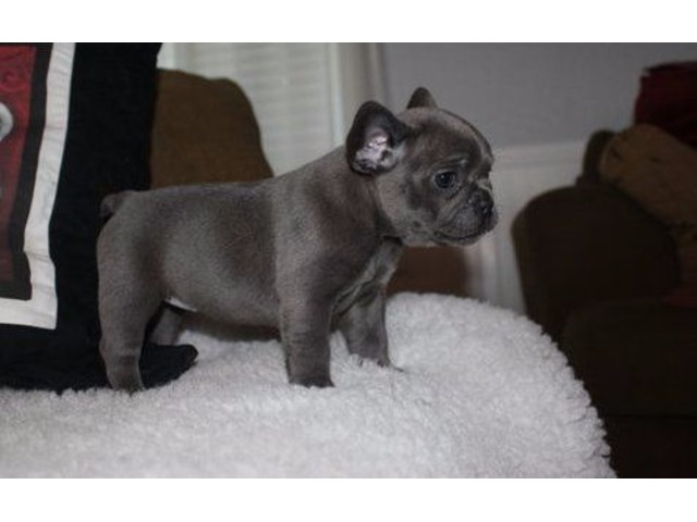 Akc Potty Trained Males And Females French Bulldog Puppies For Your