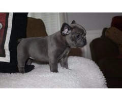 AKC Potty Trained Males And Females French Bulldog Puppies For Your Home
