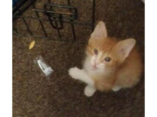 kitten diapers