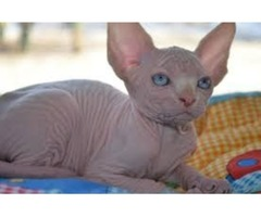 Gorgeous Boy Sphynx Kitten For Sale!!!!!!
