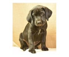 Hunk - Mastador (English Mastiff/Lab) - Perfect Family Dog