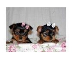 Amazing Ack register yorkies for sale