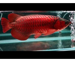 Super Red Arowana Fish For Sale and Many Others Now Call or Text (760) 585-7652