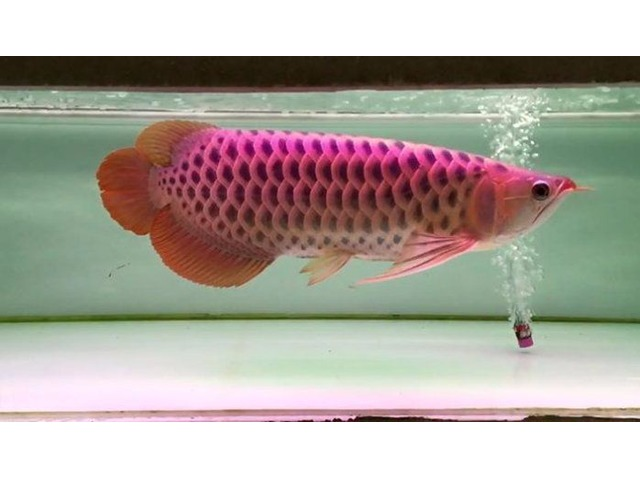 Asian Red Arowana Fish for Sale and others Call or Text At (760) 585-7652 | free-classifieds-usa.com