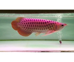 Asian Red Arowana Fish for Sale and others Call or Text At (760) 585-7652