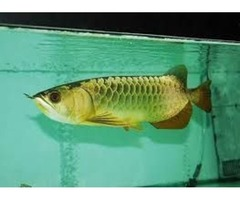 24K Golden Arowana Fish For Sale (760) 585-7652