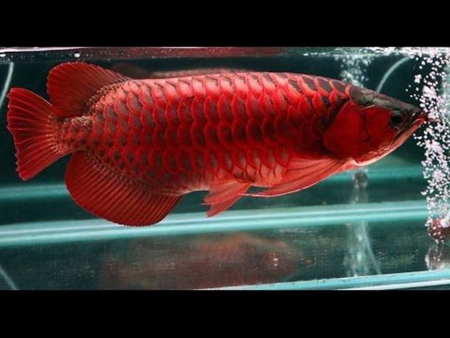 Red dragon arowana fish chili red 760 585 7652 animals for Dragon fish for sale
