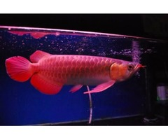 Top Quality Super Red Arowana Fish For Sale (760) 585-7652
