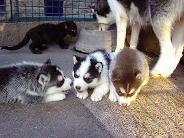 Fantastic Blue Eye Siberian Husky Puppies for new home