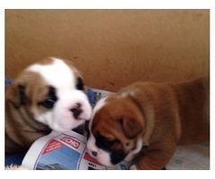 Amazing English Bulldogs Available For Adoption