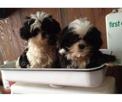SHIH TZU Puppies M/F READY NOW