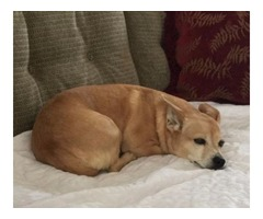 Daschaund / Terrier mix