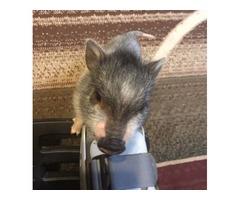 15 week old mini pig