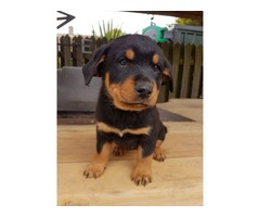 Talented Rottweiler puppies available for adoption