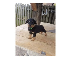 I have Rottweiler puppies for adoption