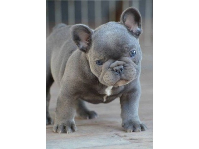 Superb Blue French Bulldog Puppy | free-classifieds-usa.com
