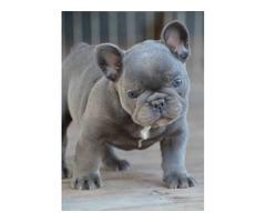 Superb Blue French Bulldog Puppy