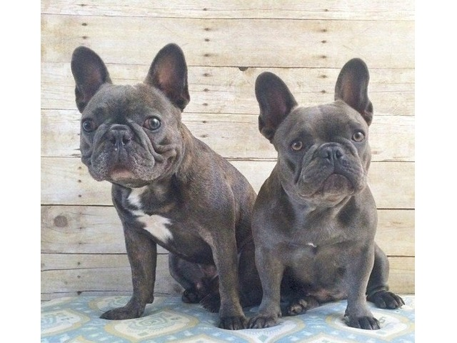 french bulldog pups for sale houston tx superb blue french bulldog puppy animals houston 6032