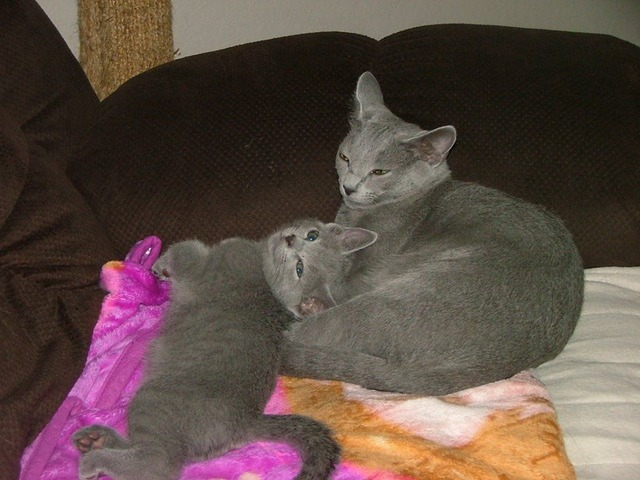 Blue Kittens For Sale : Russian blue kittens for sale animals los angeles california
