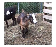 Baby Goats pygmy