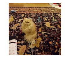 Free Pure Bred Persian Cat