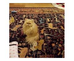 Free Pure Bred Persian Cat