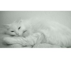 Female white cat needing a stable home
