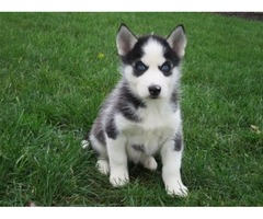 These adorable Siberian Husky pups are both playful and friendly!
