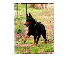 Beautiful AKC Doberman puppies for sale
