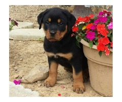This adorable Rottweiler puppy is super cute and has a nice temperament.