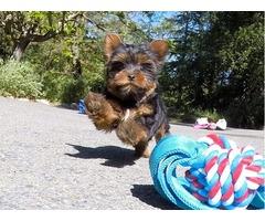Yorkie Puppies 1M 1 F