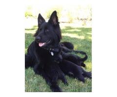 AKC Longhaired German Shepherd Puppies