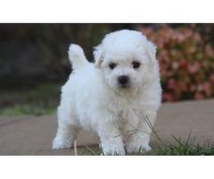 Super Cute Bichon Frise Pups For Adoption