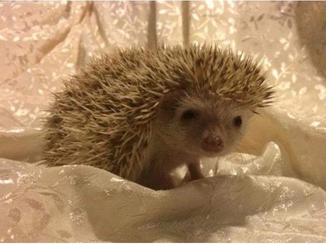 84a22b24b070 Baby Hedgehogs - Animals - Hilton Head Island - South Carolina ...