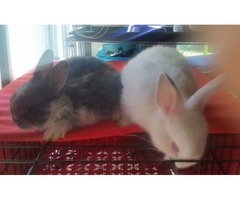 Mixed Netherland Dwarf Bunnies