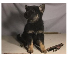 Working German Shepherd Dog Puppies