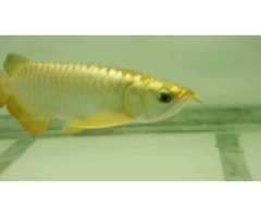 Buy Asian Red Arowana Super Red Arowana Chili Red Arowana Malaysian Red Arowana