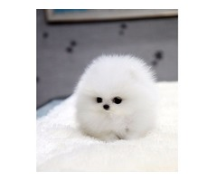 Lovely Pomeranian puppies for Sale. Ready to go now^
