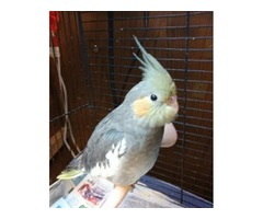 Gorgeous Rare Weaned Handfed Cockatiel Babies Reduced