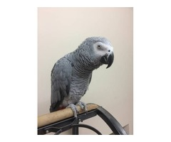 Talking Congo African Grey parrots for adoption